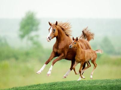 Фотообои Лошадь с жеребенком (animals-514)