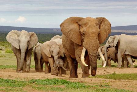 Фотообои Поход слонов (animals-552)