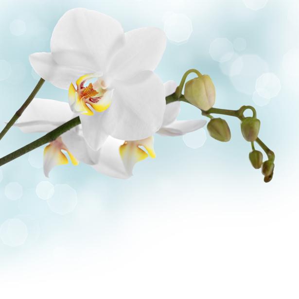 Обои на стену с цветами Белая орхидея (flowers-0000057)