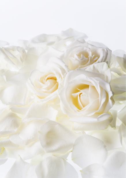 Белые розы фотообои на стену цветы (flowers-0000099)