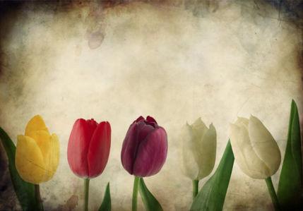 Разноцветные тюльпаны фотообои (flowers-0000167)