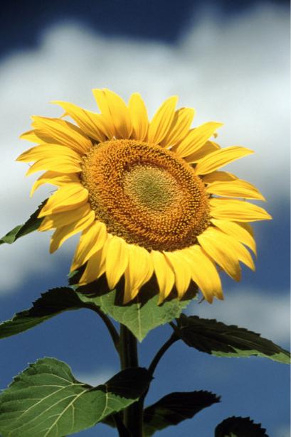 Фотообои на стену цветы -  Подсолнух (flowers-0000190)