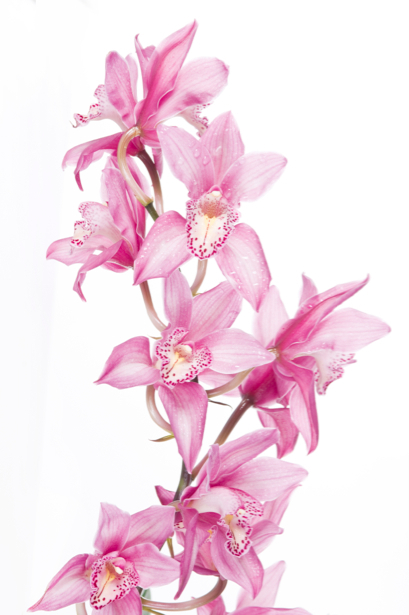 Фото обои Ветка розовой орхидеи (flowers-0000301)