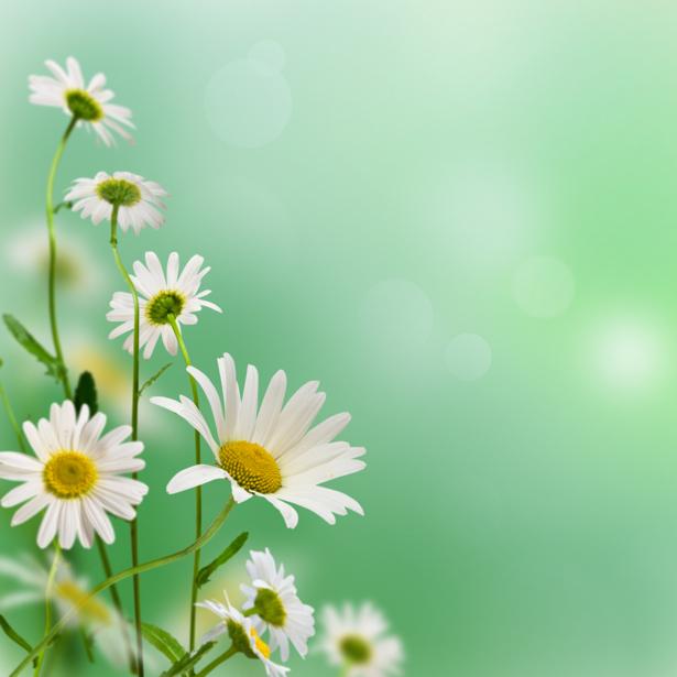 Фото обои для стен ромашки (flowers-0000437)