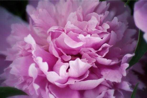 Обои фото цветок цветок пиона, пион (flowers-0000484)