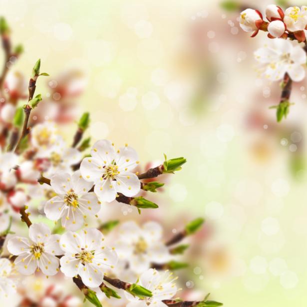 Фото обои цветы цветущая ветка (flowers-0000629)