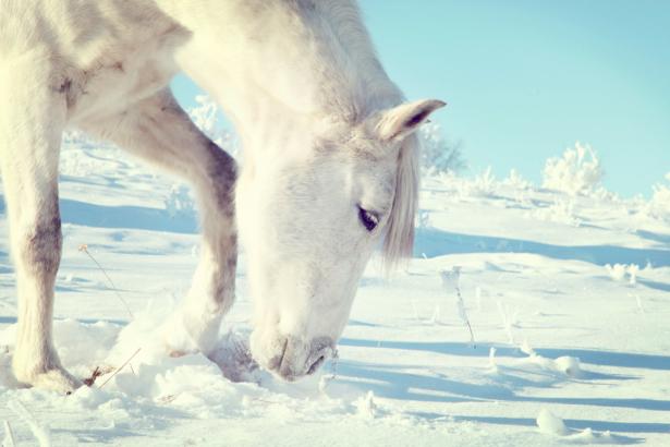 Фотообои лошадь зимой на снегу (animals-0000017)
