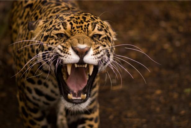 Фотообои Ягуар беседует (animals-0000450)