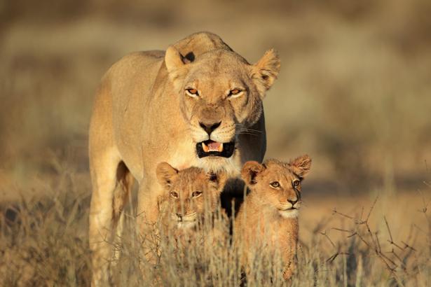 Львица и детеныши - Фотообои (animals-0000461)