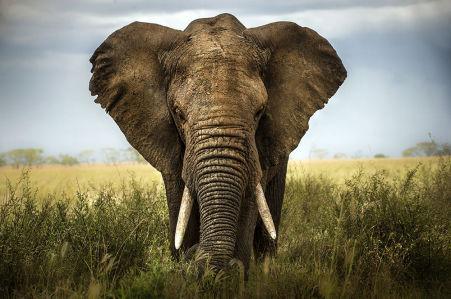 Фотообои Величественный слон (animals-542)