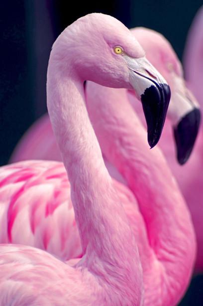 Фотообои Розовый Фламинго (animals-566)