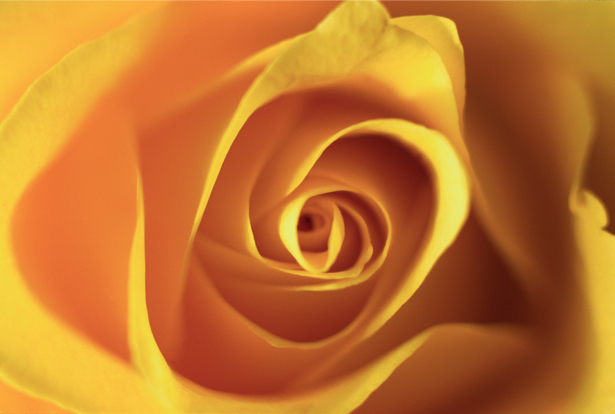 Желтая роза обои на стену цветы (flowers-0000091)