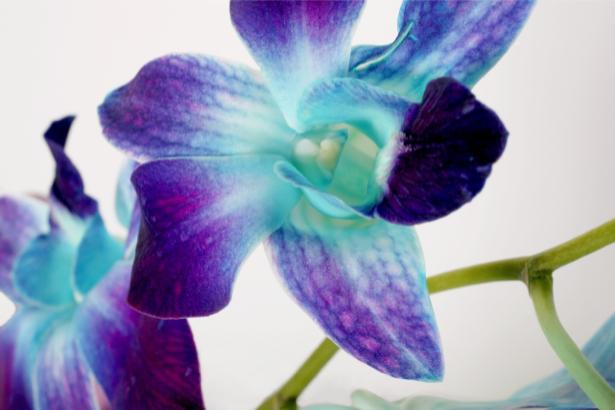 Обои для стен фото Синие орхидеи (flowers-0000132)