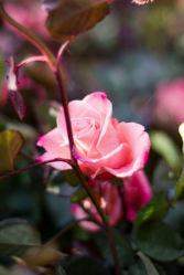 flowers-0000263