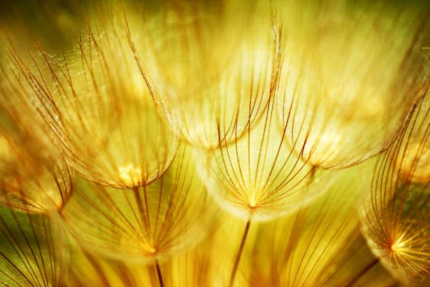Фотообои для спальни одуванчик (flowers-0000476)
