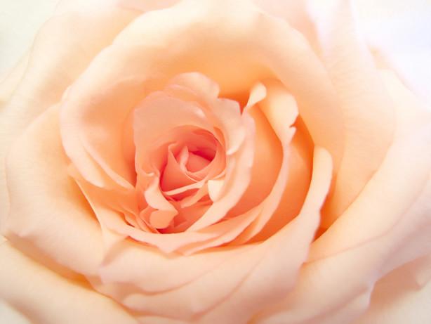 Фотообои нежная роза (flowers-762)