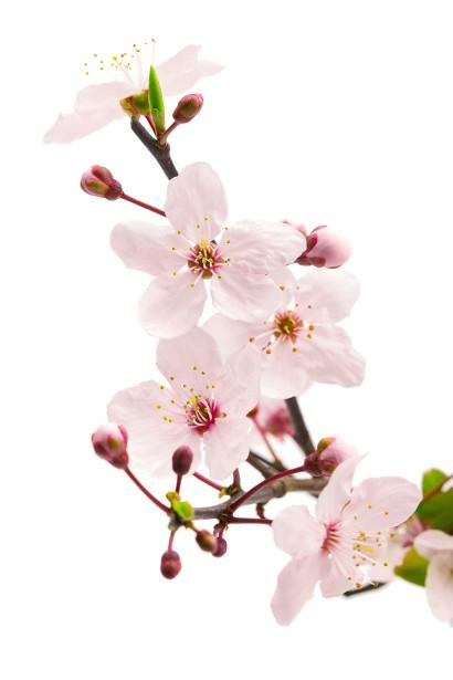 Фотообои цветы сакуры (flowers-764)