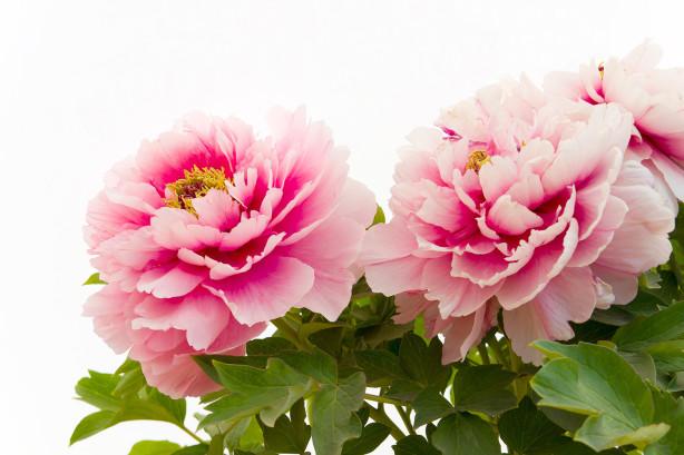 Фотообои садовые пионы (flowers-772)