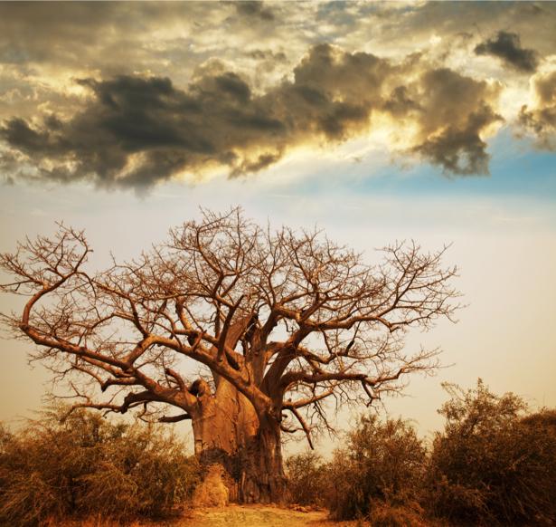 Фотообои баобаб и облако (nature-0000741)