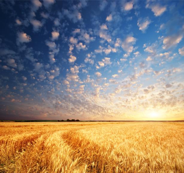 Фотообои поле пшеница облака (nature-00573)