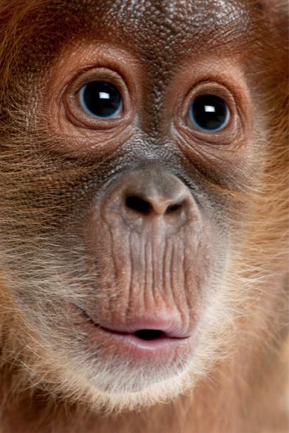 Фотообои обезьяна горилла портрет (animals-0000100)