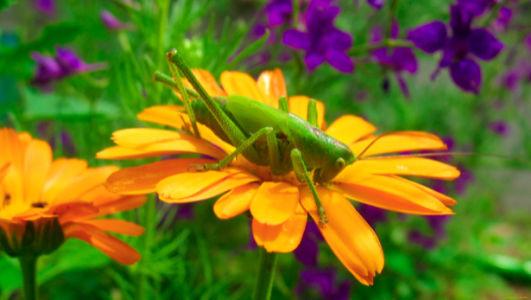 Фотообои с природой кузнечик на цветке (animals-0000126)