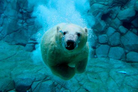 Фотообои белый медведь под водой (animals-0000222)