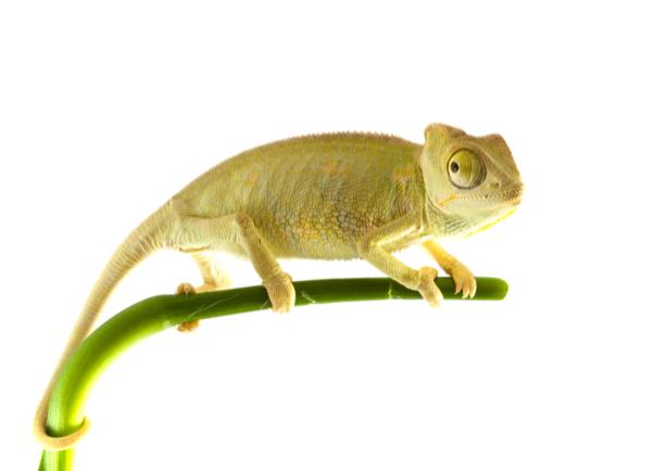 Фотообои на белом хамелеон (animals-0000277)