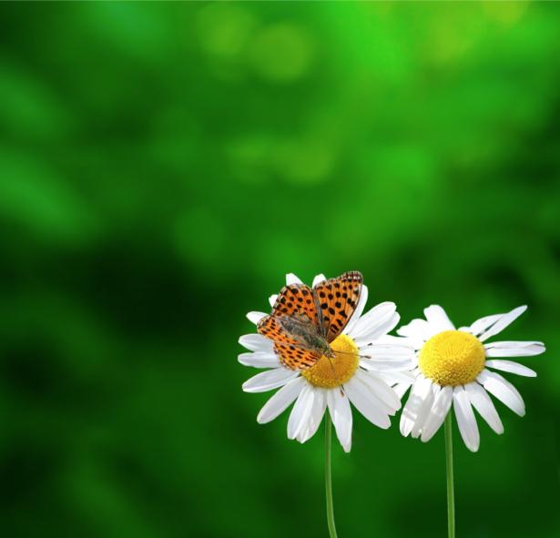Фотообои бабочка на ромашке (animals-0000335)
