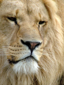 Фотообои портрет Лева (animals-0000457)