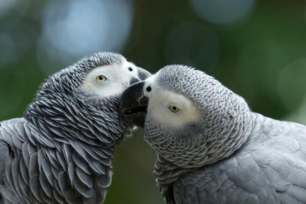 Фотообои серые ара поцелуй (animals-0000483)