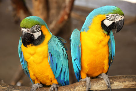 Фотообои попугаи ара пара (animals-0000496)
