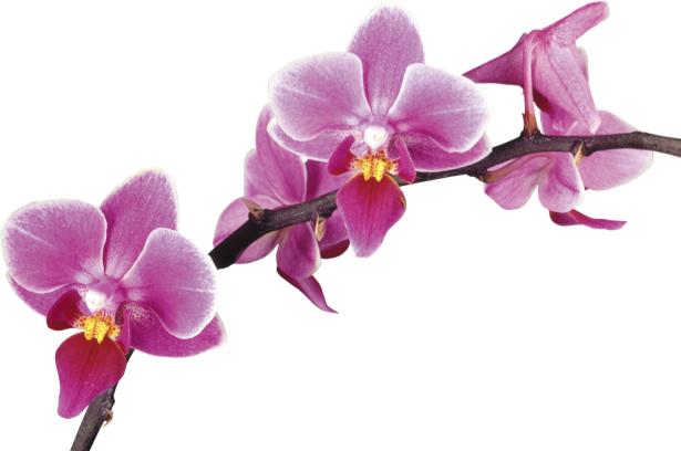 Фотообои на стену цветы Розовая орхидея (flowers-0000042)