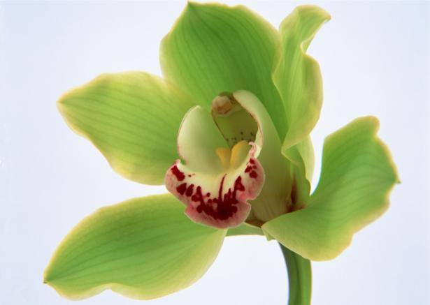 Обои цветы на стену Зеленая орхидея (flowers-0000062)
