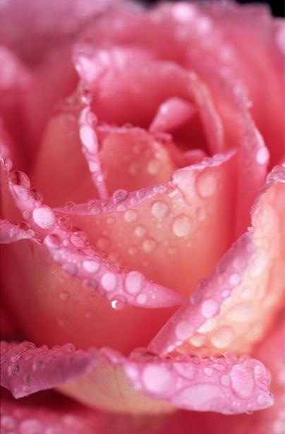 Розовая роза фотообои цветы фото (flowers-0000068)