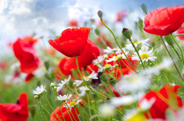 Полевые ромашки и маки фотообои цветов на стену (flowers-0000269)