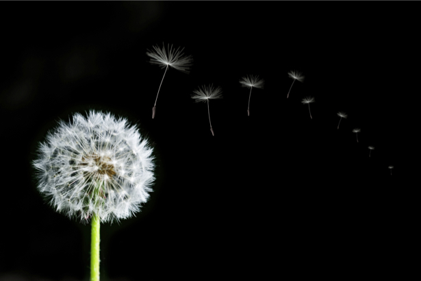 Фотообои на стену цветок - Одуванчик (flowers-0000378)