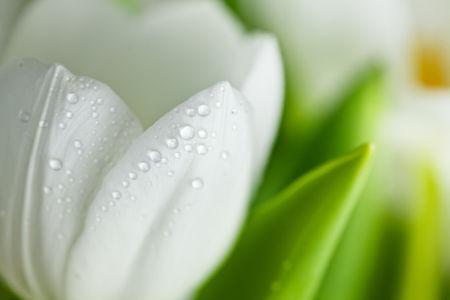 Обои фото цветы белые тюльпаны (flowers-0000446)