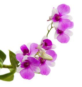 Цветочные фото обои ветка орхидеи (flowers-0000499)