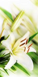 Фото обои цветок белая лилия (flowers-0000531)