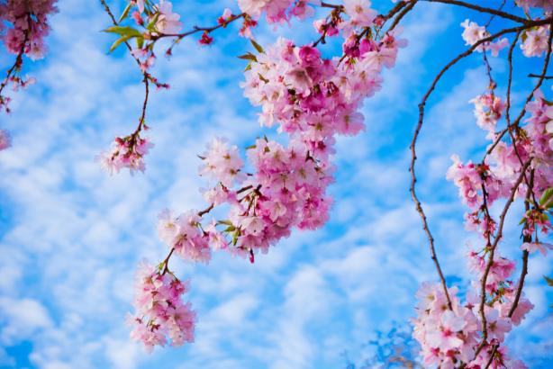 Фотообои сакура цветение (nature-0000813)