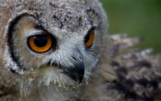 Фотообои сова, филин фото (animals-0000125)