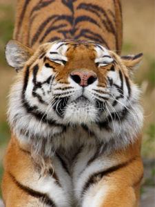 Фотообои тигр проснулся (animals-0000176)
