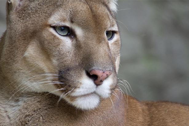 Фотообои фото львица (animals-0000304)