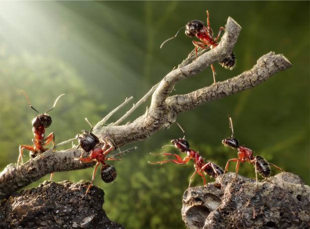 Фотообои муравьи преодолевая трудности (animals-0000320)