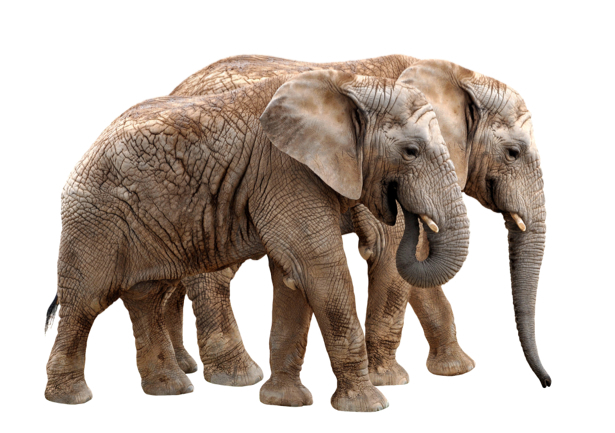 Фотообои на белом фоне слоны (animals-0000353)