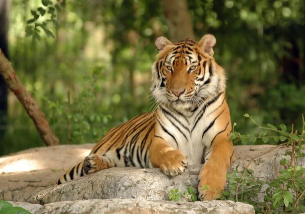 Фотообои тигр на камне (animals-0000383)