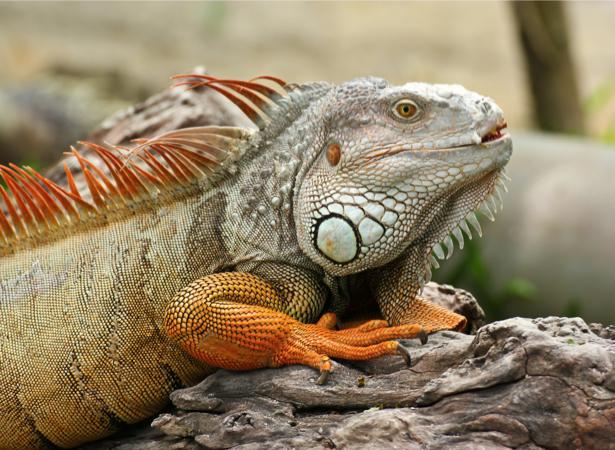 Фотообои Игуана (animals-0000426)