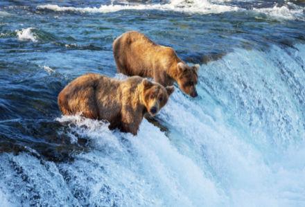 Фотообои Медведи на охоте (animals-0000439)