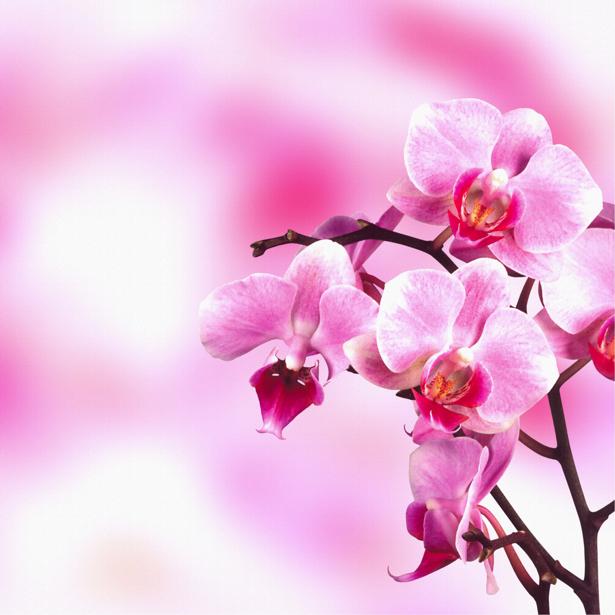 Фотообои на стену цветы Розовая орхидея (flowers-0000034)